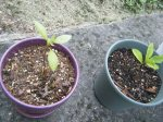 Baby avocado (left) and oak tree